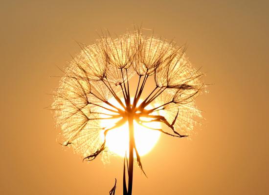 Klimakrise Klimaschutz SDG 13 Löwenzahn vor Sonne